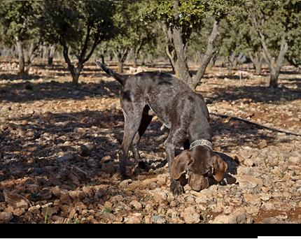 trufa_negra_trufar_inicio_trufar_seleccion Trufa Negra de Aragón